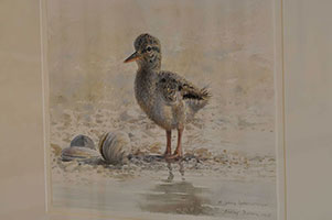 084_Young Oyster Catcher_Nic Dillon.jpg