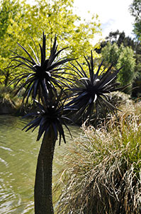 009_Cabbage Tree.jpg